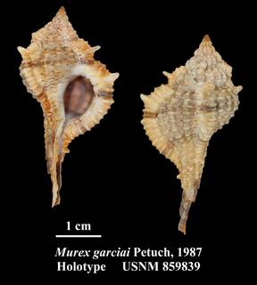 To NMNH Extant Collection (Murex garciai Petuch, 1987 Holotype USNM 859839)