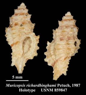 To NMNH Extant Collection (Muricopsis richardbinghami Petuch, 1987 Holotype USNM 859847)