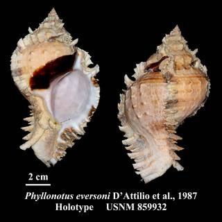 To NMNH Extant Collection (Phyllonotus eversoni D'Attilio et al., 1987 Holotype USNM 859932)