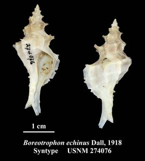 To NMNH Extant Collection (Boreotrophon echinus Dall, 1918 Syntype USNM 274076)