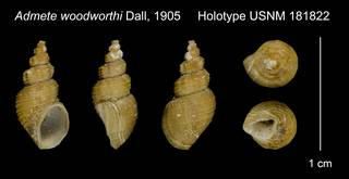 To NMNH Extant Collection (Admete woodworthi Dall, 1905 Holotype USNM 181822)
