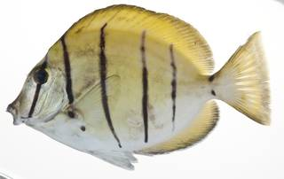 To NMNH Extant Collection (Acanthurus triostegus USNM 409099 photograph lateral view)