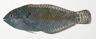 To NMNH Extant Collection (Macropharyngodon meleagris USNM 409153 photograph lateral view)