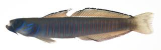 To NMNH Extant Collection (Ptereleotris zebra USNM 409174 photograph lateral view)
