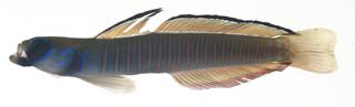 To NMNH Extant Collection (Ptereleotris zebra USNM 409175 photograph lateral view)