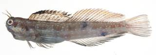 To NMNH Extant Collection (Blenniella USNM 409177 photograph lateral view)