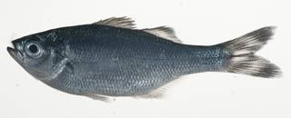 To NMNH Extant Collection (Kuhlia petiti USNM 409190 photograph lateral view)