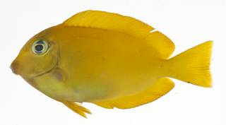 To NMNH Extant Collection (Acanthurus reversus USNM 409209 photograph lateral view)