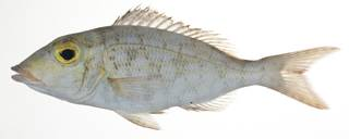 To NMNH Extant Collection (Lethrinus xanthochilus USNM 409268 photograph lateral view)