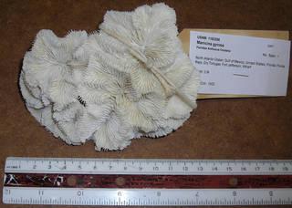 To NMNH Extant Collection (IZ COE 1183298 whole specimen top view)
