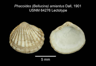 To NMNH Extant Collection (IZ MOL 64276 Phacoides amiantus Lectotype plate)
