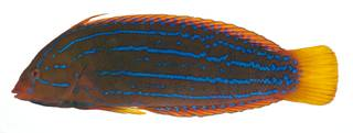 To NMNH Extant Collection (Coris marquesensis USNM 409388 photograph lateral view)