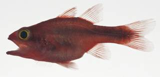 To NMNH Extant Collection (Apogon lativittatus USNM 409410 photograph lateral view)