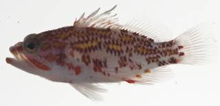 To NMNH Extant Collection (Plectranthias USNM 409425 photograph lateral view)