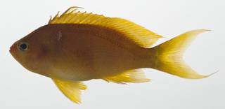 To NMNH Extant Collection (Pseudanthias USNM 409433 photograph lateral view)