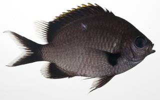 To NMNH Extant Collection (Chromis flavapicis USNM 409503 photograph lateral view)