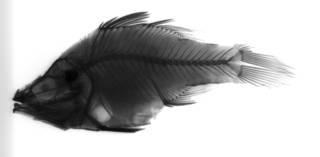 To NMNH Extant Collection (Amia hyalina USNM 70245 holotype radiograph lateral view)