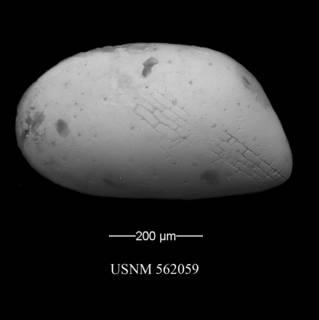To NMNH Paleobiology Collection (Krithe trinidadensis)