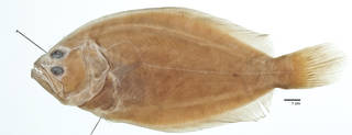 To NMNH Extant Collection (Paralichthys albigutta USNM 30818 type photograph)