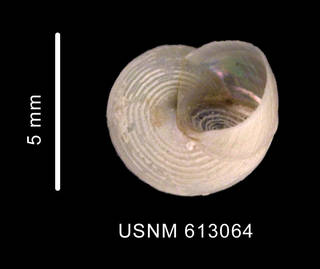 To NMNH Extant Collection (Margarites crebrilirulata (Smith, 1907) basal view)