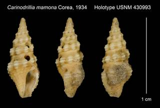 To NMNH Extant Collection (Carinodrillia mamona Corea, 1934 Holotype USNM 430993)
