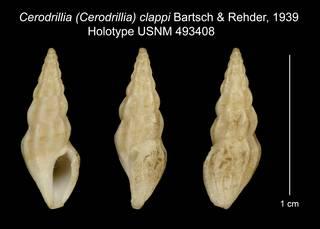 To NMNH Extant Collection (Cerodrillia (Cerodrillia) clappi Bartsch & Rehder, 1939 Holotype USNM 493408)