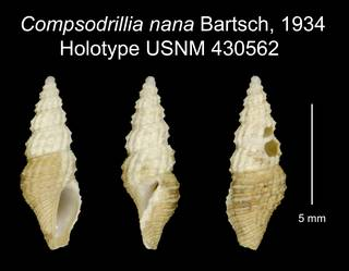 To NMNH Extant Collection (Compsodrillia nana Bartsch, 1934 Holotype USNM 430562)