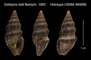 To NMNH Extant Collection (Dallspira dalli Bartsch, 1950 Holotype USNM 484896)