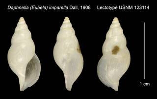 To NMNH Extant Collection (Daphnella (Eubela) imparella Dall, 1908 Lectotype USNM 123114)