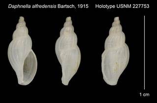 To NMNH Extant Collection (Daphnella alfredensis Bartsch, 1915 Holotype USNM 227753)