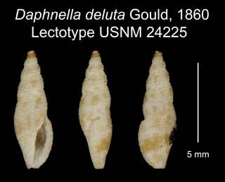 To NMNH Extant Collection (Daphnella deluta Gould, 1860 Lectotype USNM 24225)