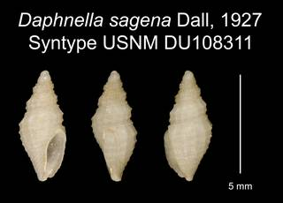 To NMNH Extant Collection (Daphnella sagena Dall, 1927 Syntype USNM DU108311)