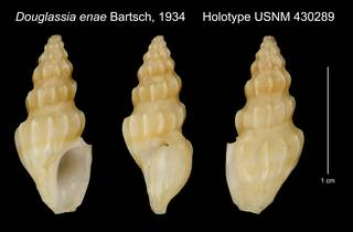 To NMNH Extant Collection (Douglassia enae Bartsch, 1934 Holotype USNM 430289)
