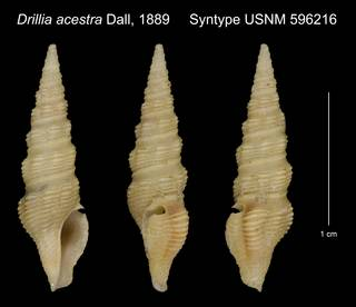 To NMNH Extant Collection (Drillia acestra Dall, 1889 Syntype USNM 596216)