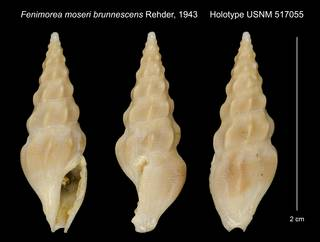 To NMNH Extant Collection (Fenimorea moseri brunnescens Rehder, 1943 Holotype USNM 517055)