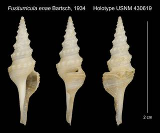 To NMNH Extant Collection (Fusiturricula enae Bartsch, 1934 Holotype USNM 430619)