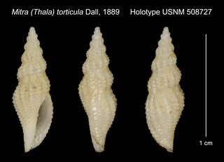 To NMNH Extant Collection (Mitra (Thala) torticula Dall, 1889 Holotype USNM 508727)