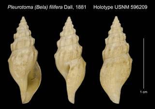 To NMNH Extant Collection (Pleurotoma (Bela) filifera Dall, 1881 Holotype USNM 596209)