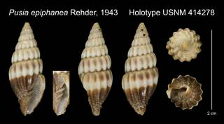 To NMNH Extant Collection (Pusia epiphanea Rehder, 1943 Holotype USNM 414278)