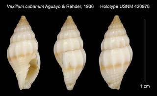 To NMNH Extant Collection (Vexillum cubanum Aguayo & Rehder, 1936 Holotype USNM 420978)