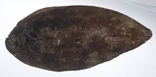 To NMNH Extant Collection (Brachirus sorsogonensis USNM 405892 photograph eyed side view)
