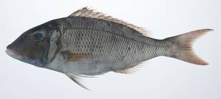 To NMNH Extant Collection (Lethrinus rubrioperculatus USNM 405898 photograph lateral view)