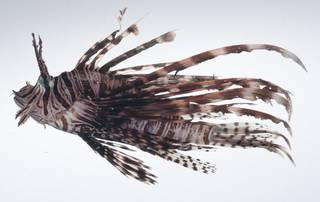 To NMNH Extant Collection (Pterois volitans USNM 407411 photograph lateral view)