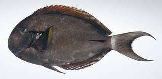 To NMNH Extant Collection (Acanthurus nigricauda USNM 407798 photograph lateral view)