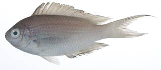 To NMNH Extant Collection (Pomachromis USNM 407899 photograph lateral view)