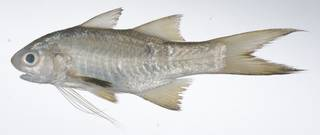 To NMNH Extant Collection (Filimanus heptadactyla USNM 408795 photograph lateral view)
