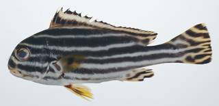 To NMNH Extant Collection (Plectorhinchus lineatus USNM 408816 photograph lateral view)