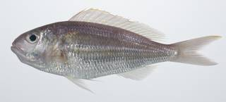 To NMNH Extant Collection (Nemipterus hexodon USNM 408844 photograph lateral view)