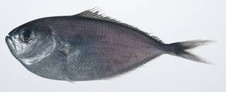 To NMNH Extant Collection (Brama pauciradiata USNM 408845 photograph lateral view)