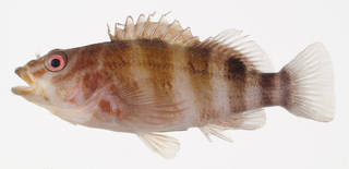 To NMNH Extant Collection (Isocirrhites sexfasciatus USNM 406947 photograph lateral view)